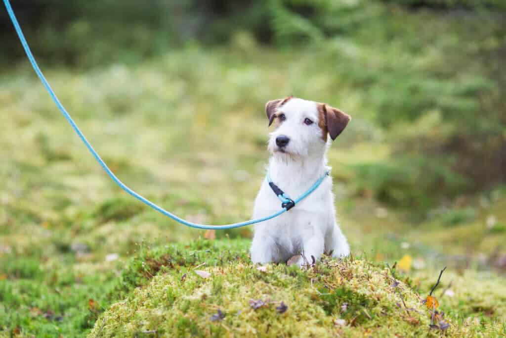 Retrieverkoppel Rukka turkos hos Hundliv